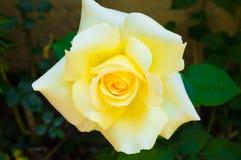 黄色玫瑰在庭院里 免版税图库摄影