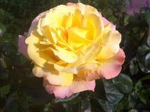 黄色玫瑰在花圃里!傲德萨,乌克兰2017年 免版税库存照片