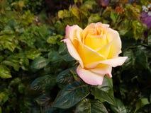 黄色玫瑰开花 免版税库存图片