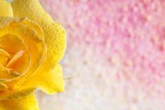 黄色玫瑰洒了在抽象背景的粉末充满色的粉末 抽象背景美丽花卉 免版税图库摄影
