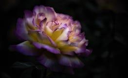 黄色玫瑰的瓣的桃红色技巧开花 免版税库存照片