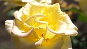 黄色玫瑰色绽放在夏天在庭院里 特写镜头 美丽的花在春天开花在公园 花事务 股票视频