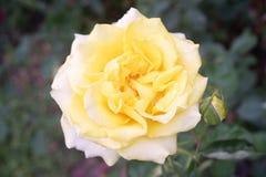 黄色玫瑰色美丽的花在庭院被颤动小舌的背景中 免版税库存图片