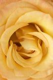 黄色玫瑰色花 免版税图库摄影