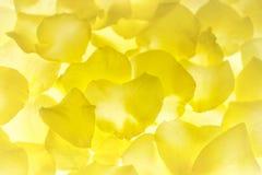 黄色玫瑰花瓣花卉背景 免版税库存图片