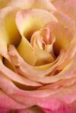 黄色玫瑰花 库存图片
