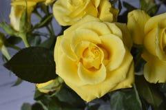 黄色玫瑰 免版税图库摄影