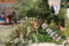 黄色玻璃状老虎蝴蝶在春天 免版税库存图片
