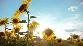 黄色生活方式的美好的向日葵向日葵领域在蓝天风景背景开花  慢的行动 影视素材