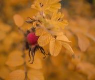 黄色留给红色莓果bokeh背景野玫瑰果bokeh背景 库存照片