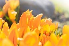 黄色番红花第一朵春天花 免版税库存图片