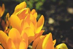 黄色番红花第一朵春天花 免版税图库摄影