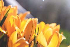 黄色番红花第一朵春天花 免版税库存照片