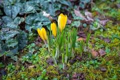 黄色番红花花卉生长在有从土壤出来的雨下落的庭院里 库存照片