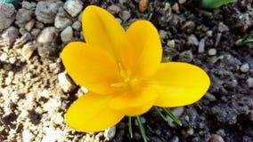 黄色番红花-花宏指令 库存照片