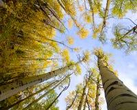 黄色白杨木在Santa Fe 免版税库存图片