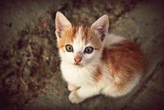 黄色白的猫 图库摄影