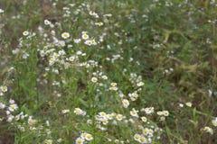 黄色白的花在几天绿色欧洲春天 春白菊 免版税库存图片