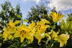 黄色百合大和美丽的花在午间夏天太阳的光芒的 免版税库存图片