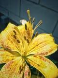 黄色百合属植物pétalo 免版税库存照片