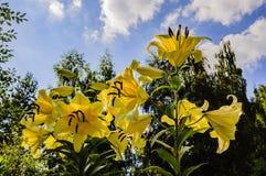 黄色百合美丽和大花在午间夏天太阳的光芒的 免版税库存照片