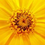 黄色百日菊属大丽花特写镜头  图库摄影