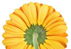 黄色的接近的大丁草 免版税库存图片