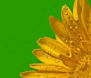 黄色的接近的花大丁草 免版税库存图片