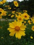 黄色的接近的花 免版税库存图片