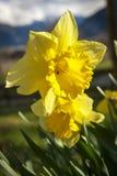 黄色的接近的黄水仙 图库摄影