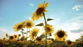黄色的美好的向日葵向日葵领域开花在蓝天风景背景的生活方式  慢的行动 影视素材