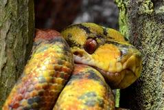 黄色的蟒蛇接近的结构树 免版税图库摄影