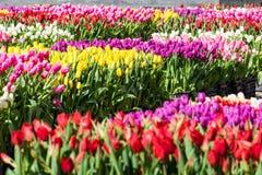 黄色的郁金香的领域-,紫色,红色,白色,桃红色 免版税库存图片