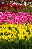 黄色的郁金香的领域-,紫色,红色,白色,桃红色 免版税库存照片