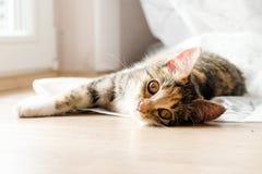 黄色目的猫 免版税库存照片