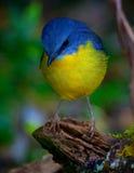 黄色知更鸟 库存照片