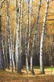 黄色秋天桦树森林在10月 库存照片