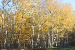 黄色秋天桦树森林在10月 免版税图库摄影