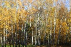 黄色秋天桦树森林在10月 库存图片