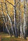 黄色秋天桦树森林在10月 免版税库存图片