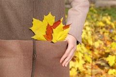 黄色秋天槭树叶子在手上 库存图片