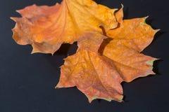 黄色秋天槭树叶子 库存照片