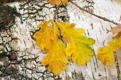 黄色秋天橡木在白桦树皮背景离开 免版税图库摄影