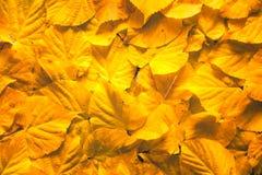 黄色秋天白杨木离开背景 库存图片