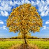 黄色秋天结构树 免版税库存照片