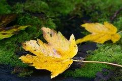 黄色秋天美国梧桐槭树在青苔特写镜头离开 免版税库存图片