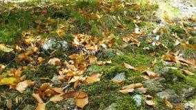 黄色秋天落叶在地面上说谎 股票录像
