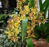 黄色紫色有斑点的兰花在庭院里 库存照片