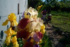 黄色紫色花 图库摄影