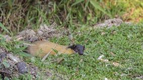 黄色红喉刺莺的貂在草甸 库存图片